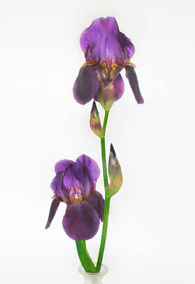 Photograph - Purple Iris Duet by David and Carol Kelly