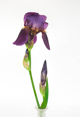 Photograph - Purple Iris Flower And Bud by David and Carol Kelly