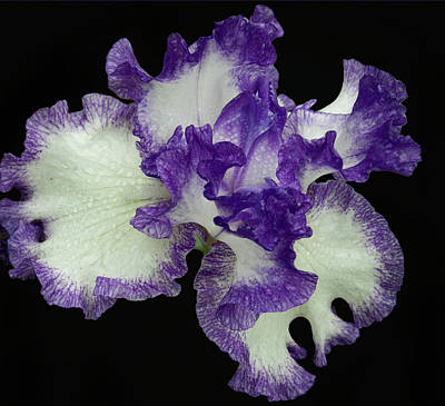 Photograph - Purple Iris Frills by Jean Noren