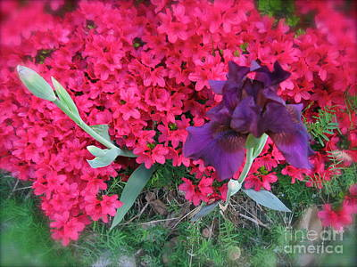 Photograph - Purple Iris In Pink 3 by Nancy Patterson