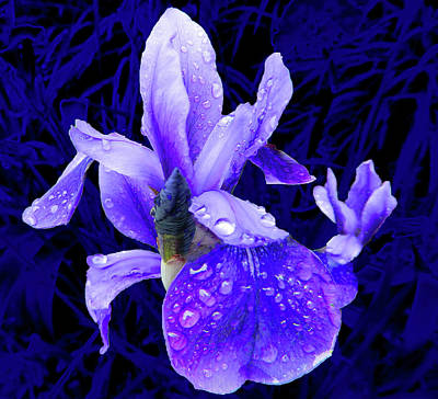 Photograph - Purple Iris In The Rain by Emmy Vickers