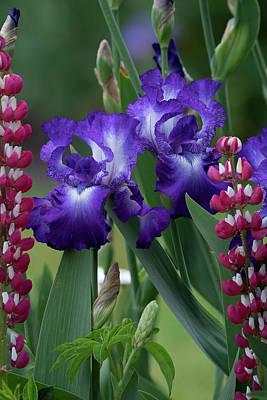 Photograph - Purple Iris by Ken Dietz