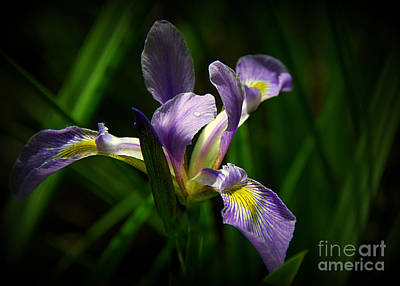 Photograph - Purple Iris by Lisa L Silva