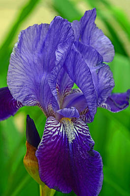 Detail Photograph - Purple Iris by Lisa Phillips