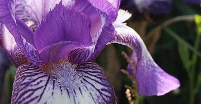 Photograph - Purple Iris Macro by Bruce Bley