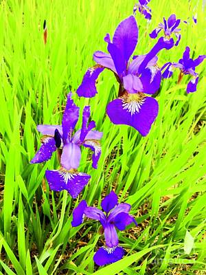 Photograph - Purple Iris Majesty by Beth Saffer
