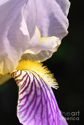 Photograph - Purple Iris  by Steve Augustin