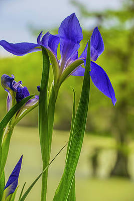 Photograph - Purple Iris by Steven Ainsworth