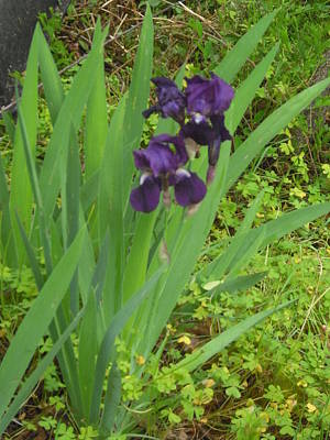 Purple Iris With Green Leaves Art Print by Sharon McKeegan
