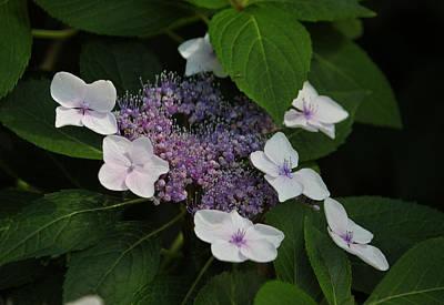Purple Lace Cap Hydrangea Original by Suzanne Gaff