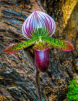 Photograph - Purple Lady Slipper by Nick Zelinsky