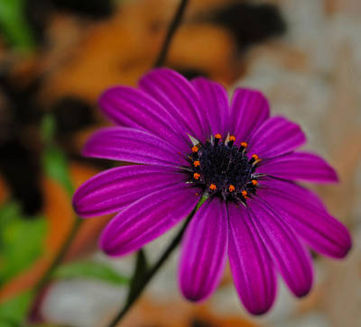 Art Print featuring the photograph Purple  by Laura DAddona