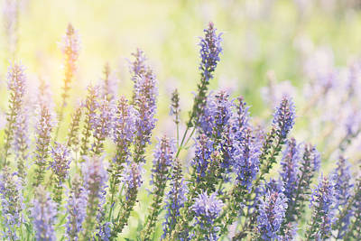 Photograph - Purple Lavender Flowers In The Field With Retro Style Filter by Brandon Bourdages