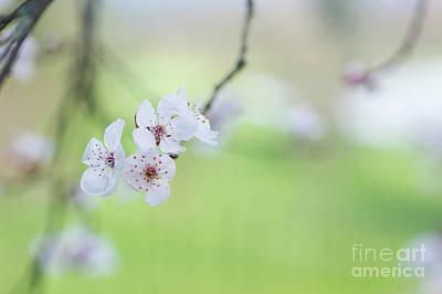 Purple Leaved Cherry Plum Blossom Art Print by Tim Gainey