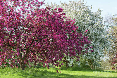 Purple Leaved Crab Apple Blossom In Spring Art Print by Tim Gainey
