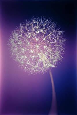 Photograph - Purple Light Dandelion by Steve Stephenson