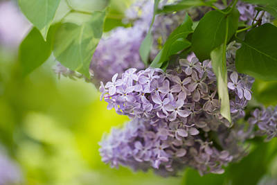 Purple Flowers Photograph - Purple Lilac by Nailia Schwarz