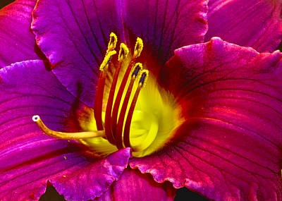 Photograph - Purple Lily by Bill Barber