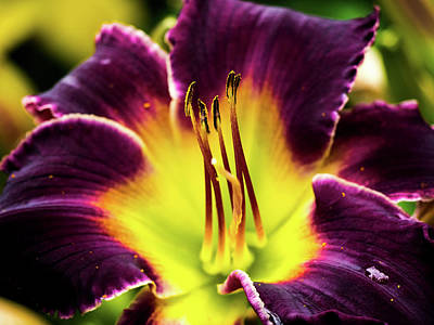 Purple Lily - Close Up Art Print