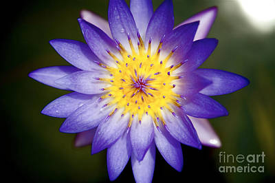 Photograph - Purple Lily by Kicka Witte - Printscapes