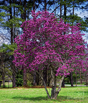 Photograph - Purple Lily Magnolia by Paul Mashburn