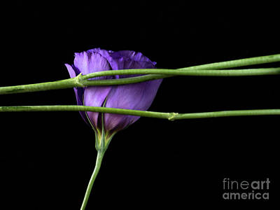 Photograph - Purple Lisianthus by Robin Zygelman