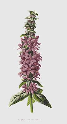 Purple Loose-strife Art Print by Frederick Edward Hulme