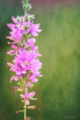 Photograph - Purple Loosestrife Textured by Trina Ansel