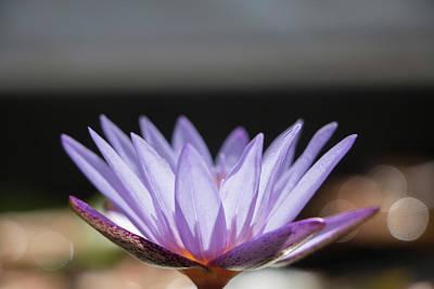 Photograph - Purple Lotus With Bokkah by Teresa Wilson