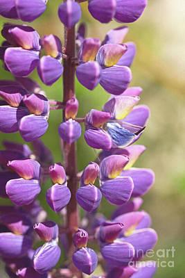Photograph - Purple Lupin by Liz Alderdice
