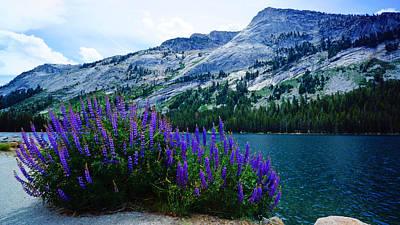 Photograph - Purple Lupin Wildflowers Yosemite by Lawrence S Richardson Jr