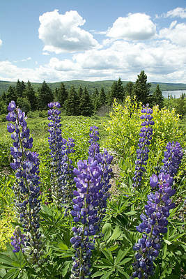 Photograph - Purple Lupines by Paul Miller