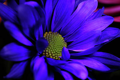 Photograph - Purple Magic by Judy Vincent