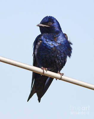 Purple Martin Art Print