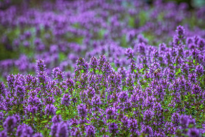 Photograph - Purple Meadow 3 by Lilia D