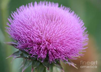 Photograph - Purple Milk Thistle 2 by Maria Urso