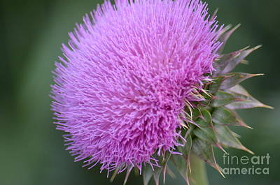 Photograph - Purple Milk Thistle by Maria Urso