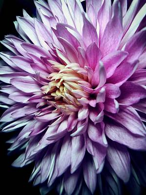 Photograph - Purple Mum by Steph Gabler