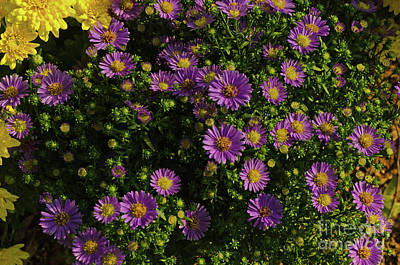 Photograph - Purple Mums by Donna Brown
