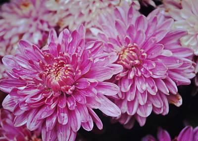 Purple Mums Art Print by JAMART Photography