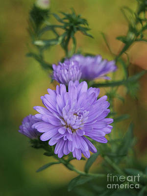 Photograph - Purple Mums On An Autumn Day by Dorothy Lee