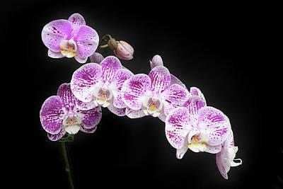 Photograph - Purple On White On Black by Denise Bird