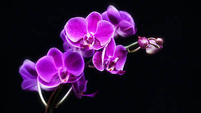 Photograph - Purple Orchid by Cameron Wood
