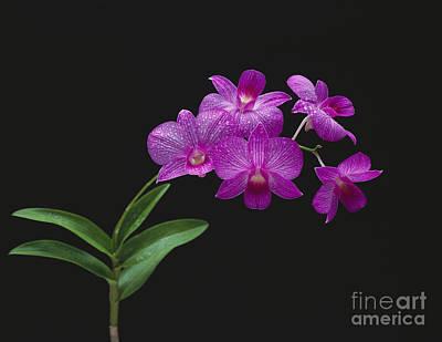Purple Orchids - Black Background Art Print by Tomas del Amo - Printscapes