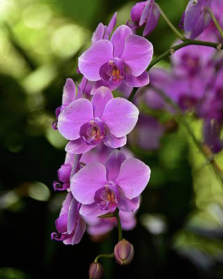 Photograph - Purple Orchids by Carol Bradley