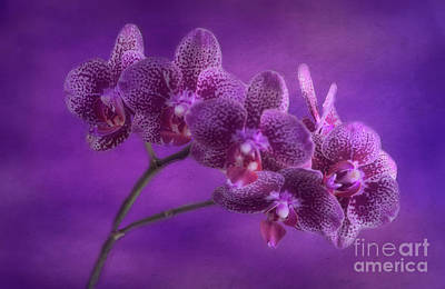 Photograph - Purple Orchids by Joan Bertucci