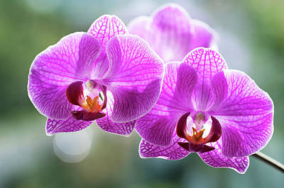 Photograph - Purple Orchids With Sun Halo by Jenny Rainbow