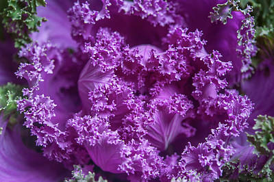 Photograph - Purple Ornamental Cabbage by Jenny Rainbow