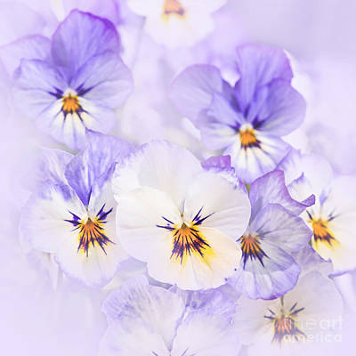 Violet Bloom Photograph - Purple Pansies by Elena Elisseeva