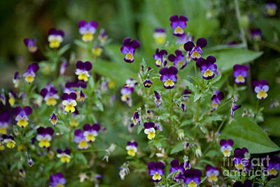 Photograph - Purple Pansies by Lara Morrison